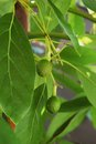 Young Avocados Growing In Southern California Royalty Free Stock Photo - 54330695