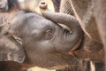 Baby Elephant Royalty Free Stock Photo - 54333625