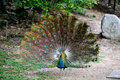 Peacock Stock Images - 54353764