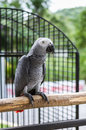 Grey Parrot On Wood Branch Royalty Free Stock Image - 54356046
