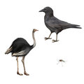 Carrion Crow, Corvus Corone, Ostrich Isolated Stock Photo - 54378330