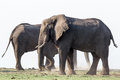 African Elephant In Chobe National Park Stock Photo - 54392970
