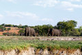 African Elephant In Chobe National Park Stock Image - 54393081
