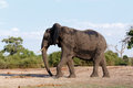 African Elephant In Chobe National Park Stock Images - 54394114