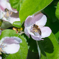 Honey Bee On The Apple Tree Flowers Blossom Closeup Royalty Free Stock Images - 54407529