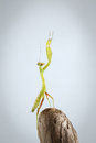 Closeup Green Praying Mantis On Stick Stock Images - 54422504