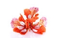 Red Peacock Flower  On The White Background Stock Photo - 54425690