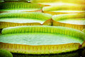 Closeup Of Water Lillies. Victoria Amazonica Stock Image - 54430741