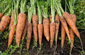 Fresh Carrots Royalty Free Stock Photography - 54431527