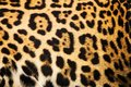 Close Up Leopard Spot Pattern Texture Royalty Free Stock Photography - 54439707