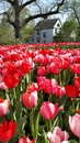 Tulips Stock Photography - 54475712