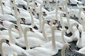 Swans Feeding At Abbotsbury Swannery Royalty Free Stock Photo - 54492265
