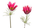 Bright Pink Flowers Pulsatilla Patens Royalty Free Stock Images - 54493919