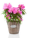 Rhododendron Flowers Stock Images - 54499554