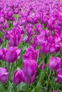 Field Of Tulips Royalty Free Stock Images - 54516759