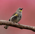 Warbler Bird Perched On A Branch Stock Image - 54524581