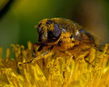Hover Fly Eristalis Sp Royalty Free Stock Photography - 54527657