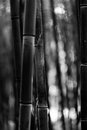 Bamboo Tree Trunk Black And White Stock Image - 54538251