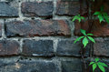 Old Brick Wall Background With Vine Stock Photography - 54553722