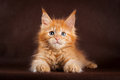 Maine Coon Cat On Black Brown Background Stock Photos - 54560713