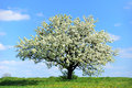 Blossoming Tree In Spring Royalty Free Stock Photos - 54564678