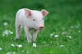 Piglet Royalty Free Stock Photo - 54564895
