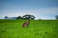 Eastern Grey Kangaroo Royalty Free Stock Image - 54571396