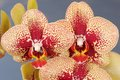 Phalaenopsis Yellow And Red Orchid Flowers Against Blue Blurred Background. Stock Image - 54587291