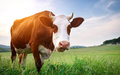 Cow In Meadow Stock Images - 54640594