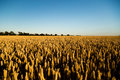 Grain Field Royalty Free Stock Image - 54643636