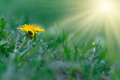 Dandelion Yellow Flower On A Background Of Green Grass. Royalty Free Stock Photo - 54646895