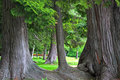 Old Growth Cedar Stock Images - 5471014