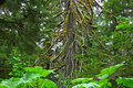 Old Growth Cedar Royalty Free Stock Images - 5471069