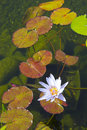Water Lily Royalty Free Stock Photo - 5473875