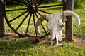 Cow Skull By Wagon Wheel Royalty Free Stock Photos - 5479028