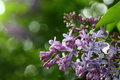 Blooming Lilacs Close-up Stock Photography - 54734302