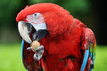 Red Macaw Stock Photos - 54756653