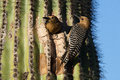 Male And Female Gila Woodpeckers Royalty Free Stock Photos - 54771688