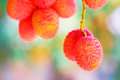 Lychee Fruit (asia Fruit) On The Tree. Royalty Free Stock Photos - 54799938