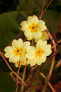 Wild Primrose (Primula Vulgaris) Royalty Free Stock Photo - 5482985
