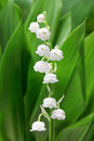 Lily Of The Valley Stock Image - 54806131