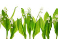 Lily Of The Valley Royalty Free Stock Photo - 54853995