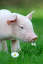 Piglet Royalty Free Stock Image - 54875436