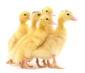 Group Ducklings. Stock Photography - 54888032