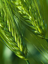 Green Wheat Stock Photo - 5490870