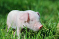 Small Piglet On A  Grass Stock Photo - 54904440