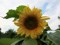 Mammoth Sunflower With Leaves Against Blue Sky And Clouds Royalty Free Stock Photography - 54910797