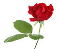 Red Rose Royalty Free Stock Images - 54938449