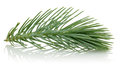 Pine Branch Royalty Free Stock Photo - 54978785