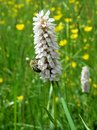 In Pollination And Plant Nutrition Of Bees In The Spring. Royalty Free Stock Image - 55011016